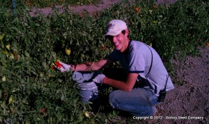 John Picking Tomatoes