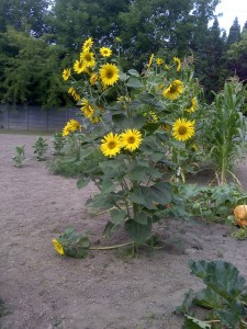 Beautifful Sunflowers in the Summer