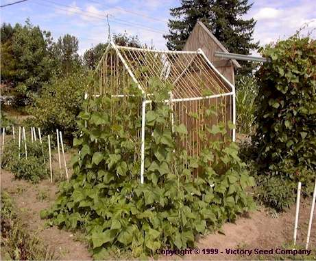 Bean Growing and Trellising Information from Victory Seeds