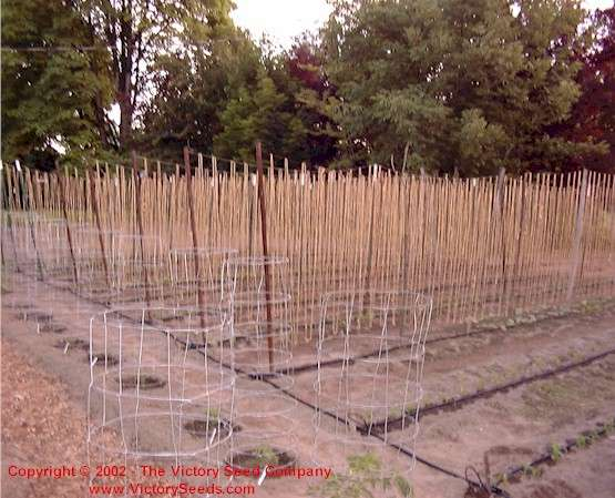 Post, Wire and Sisal Twine Bean Trellis Method