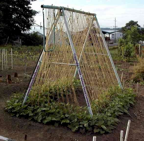 Bean Trellis Ideas Part - 20: 7/14/ ...